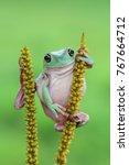 Small photo of Tree frog, dumpy drog