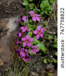 Small photo of Parry's Primrose - Mountain Wildflower