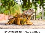 Green Iguana. Iguana  Also...