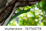 green  lacerta viridis of... | Shutterstock . vector #767763778