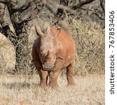 a juvenile white rhinoceros in... | Shutterstock . vector #767853406