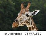 rothschild's giraffe  giraffa...   Shutterstock . vector #767971582