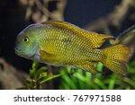 moga  hypsophrys nicaraguensis  ... | Shutterstock . vector #767971588