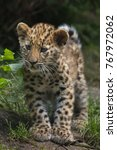 three month old amur leopard ... | Shutterstock . vector #767972062