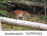 the eurasian lynx  lynx lynx ...   Shutterstock . vector #767997922