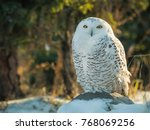 Snowy Owl Perched On Log With...