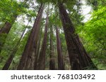 muir wood national monument... | Shutterstock . vector #768103492