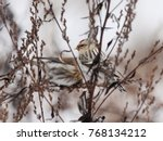 arctic redpoll female and...   Shutterstock . vector #768134212