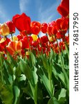 Colorful Red Tulips Under The...