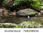 white throated dipper  cinclus... | Shutterstock . vector #768248656