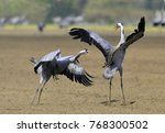 cranes dancing in the field.... | Shutterstock . vector #768300502