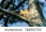 squirrel on a pine. squirrel... | Shutterstock . vector #768301702