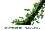 fiddle leaf philodendron the... | Shutterstock . vector #768303412