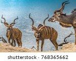 Male Greater Kudus  Chobe...
