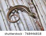 litter skink  sphenomorphus... | Shutterstock . vector #768446818