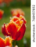 Exotic Red Tulip Is Growing In...