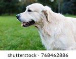 photo of golden retriever on... | Shutterstock . vector #768462886