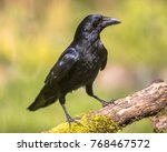 Small photo of Black Carrion Crow (Corvus corone) perched on mossy log and looking for food on sunny day
