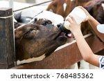 Closeup   Baby Cow Feeding On...