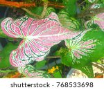 caladium bicolor with pink leaf ... | Shutterstock . vector #768533698