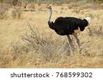 male somali ostrich walking in... | Shutterstock . vector #768599302