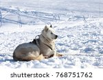 Small photo of Sledge dog relaxing in sunny snow chained but happy