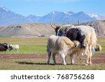 baby yak drinking milk from its ... | Shutterstock . vector #768756268