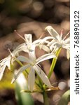white swamp lily flower crinum...   Shutterstock . vector #768890122