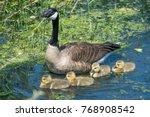 goose family  blue lake... | Shutterstock . vector #768908542