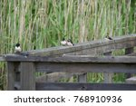 juvenile swallows on a jetty | Shutterstock . vector #768910936