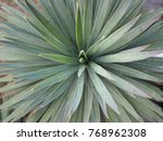 zoom top view agave long leaf... | Shutterstock . vector #768962308