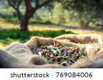 harvested fresh olives in sacks ... | Shutterstock . vector #769084006