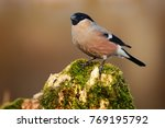 pyrrhula  commonly called... | Shutterstock . vector #769195792