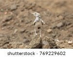 Small photo of A Greater hoopoe-lark (Alaemon alaudipes) in the desert.