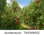 apple orchard  gala apples... | Shutterstock . vector #769348432