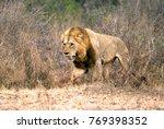 african big lion. a predatory... | Shutterstock . vector #769398352