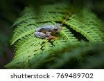 rhacophorus bipunctatus  double ...   Shutterstock . vector #769489702