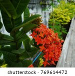 rubiaceae a shrub is in the... | Shutterstock . vector #769614472