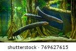 Electric Eel In Freshwater...