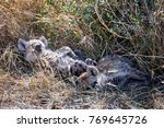two juvenile spotted hyenas... | Shutterstock . vector #769645726