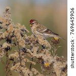 Small photo of Common Redpoll - Acanthis flammea / Carduelis flammea