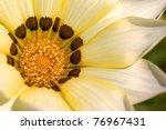 Gazania Flower In Detail