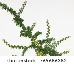 green creeper plant on a white... | Shutterstock . vector #769686382