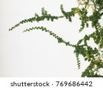 green creeper plant on a white... | Shutterstock . vector #769686442