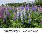 large leaved lupine  lupinus... | Shutterstock . vector #769784932