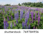 large leaved lupine  lupinus... | Shutterstock . vector #769784956