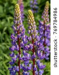 large leaved lupine  lupinus... | Shutterstock . vector #769784986