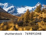golden autumn larch trees... | Shutterstock . vector #769891048