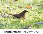 Female Blackbird Walks Through...