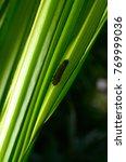 leaf hopper hiding at palm tree ...   Shutterstock . vector #769999036